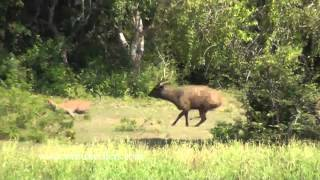 getlinkyoutube.com-Leopard and Sambar Deer - Yala