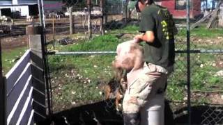 getlinkyoutube.com-Pig Castration - WARNING: Graphic Content