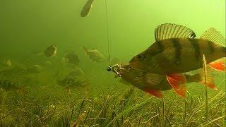 getlinkyoutube.com-Big perch fishing with worms & soft-bait underwater attacks Рыбалка крупный окунь на червя и силикон