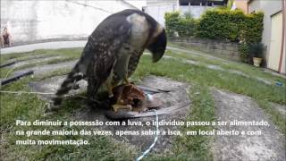 getlinkyoutube.com-Training and Manning Falcon/Hawk-clock (Micrastur semitorquatus) in falconry