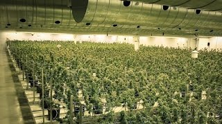 EZTRIM Satellite | Inside Tweed - Harvesting 400,000 Plants a Year with the Satellite Bud Trimmer