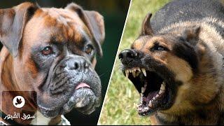 getlinkyoutube.com-اشرس 10 كلاب في العالم و اخطرها و اقواها