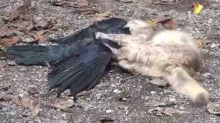 getlinkyoutube.com-猫 カラス狩りに成功 predatory cat catching a crow