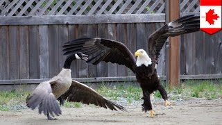 getlinkyoutube.com-Bald eagle vs. Canada goose in the battle for North American supremacy