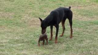 Doberman Puppy Meets The Big One