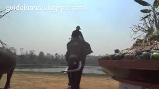 getlinkyoutube.com-ช้างตัวนี้งายาวมาก วันช้างไทยลำปาง Thai National Elephant Day