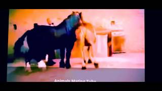 getlinkyoutube.com-Horse Mating With Female Horse Animals Mating Like Humans For Real # 7