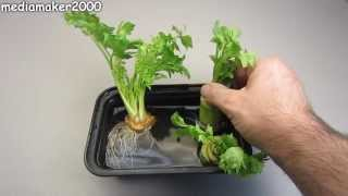 getlinkyoutube.com-How To Regrow Celery - The Celery Regrew Roots!