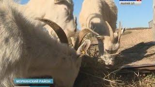 Фермеры в Моркинском районе открыли цех по переработке молока - Вести Марий Эл