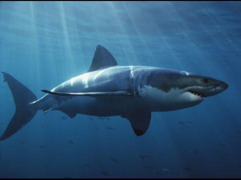 Tubarão Branco Assassino Voador da África do Sul * Flyng Jaws