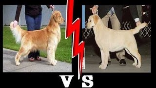 getlinkyoutube.com-مقارنة بين كلاب الجولدن و اللابرادور ريتريفر LABRADOR VS GOLDEN RETRIEVER !!!!