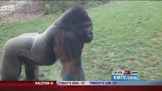 getlinkyoutube.com-Gorilla breaks glass at Nebraska Zoo