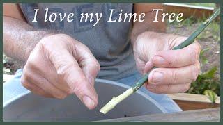 getlinkyoutube.com-Growing Citrus From Cuttings: How To Keep A Tree You Love