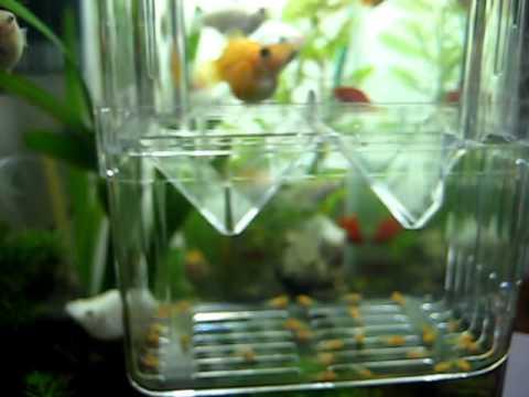 100 2 9金球魚的小魚