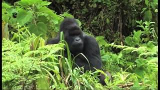 getlinkyoutube.com-Gorilla Infant from Ntambara Group Falls Victim To Infanticide