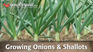 getlinkyoutube.com-Growing Organic Onions, Leeks, and Shallots