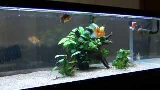 getlinkyoutube.com-90cm 金魚水槽