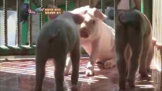 getlinkyoutube.com-호랑이와 돼지의 달콤살벌한 동거
