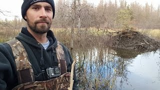 getlinkyoutube.com-Fall Beaver Trapping 2016 Part 1 With Underwater GoPro Footage