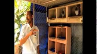 getlinkyoutube.com-Documentary on Fancy Pigeon Rearing in Kerala