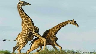 getlinkyoutube.com-Giraffe Vs Giraffe Deadliest Fight Ever Seen - Nat Geo Wild