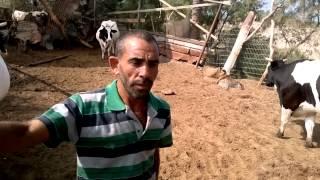 getlinkyoutube.com-CIDA First Calf at GAZA by Artificial Insemination