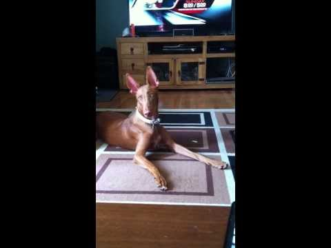 My Pharaoh Hound Aggravated by Flies