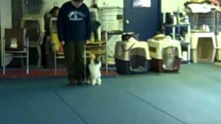 getlinkyoutube.com-AKC advanced teamwork obedience exercises