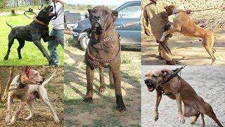 getlinkyoutube.com-Pelea de Perros Bully Kutta Mascota o Asesino