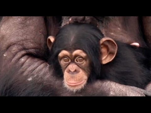 Retired laboratory chimpanzees see the earth and sky for the first time - Roger Ebert's Journal