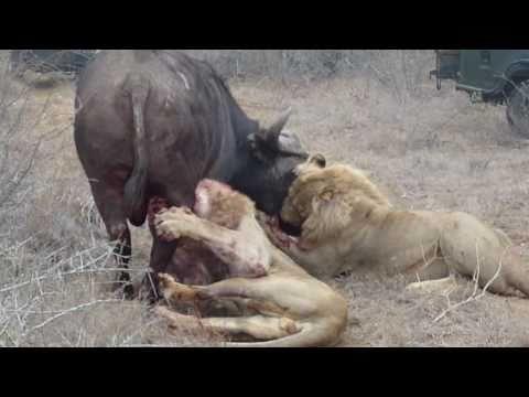 2 lions kill a buffalo -_dzUVAwc8CE