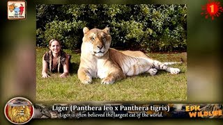 getlinkyoutube.com-13 Amazing Animal Hybrids