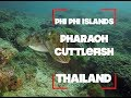 Video of Pharaoh Cuttlefish