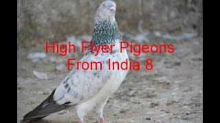 getlinkyoutube.com-High Flyer Pigeon from India 8 www.upaindia.com 91+9726345533 Not For Sell