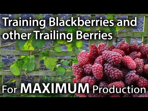 How to Train Blackberries and other Trailing Berries for Maximum Yields
