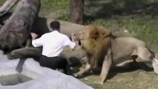 getlinkyoutube.com-Crazy man jumps into lion's den - Lions attack him