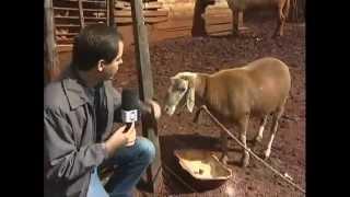 getlinkyoutube.com-Conheça o carneiro encrenqueiro do Paraná - Domingo Espetacular