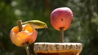 getlinkyoutube.com-自宅の庭でバードウォッチング