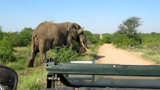 getlinkyoutube.com-Big Elephant Bumps Land Rover In Kruger