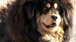 getlinkyoutube.com-Tibetan Mastiff!The Return of the King!
