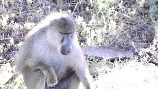 getlinkyoutube.com-monkey ejaculated