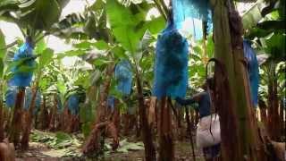 getlinkyoutube.com-DOLE - Harvesting Bananas