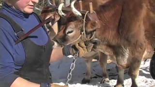 getlinkyoutube.com-Logging with Oxen at D Acres Permaculture Farm