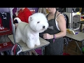 West Highland White Terrier Westminster dog show 2017 a