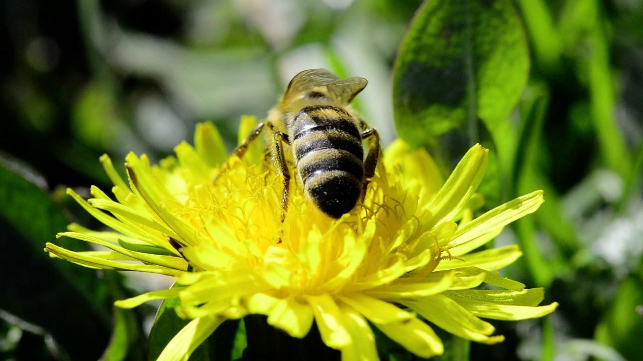 Sakupljanje maslačkovog polena
