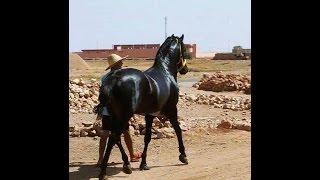 getlinkyoutube.com-حصان  الصديق صابر ، Sabir Laawd