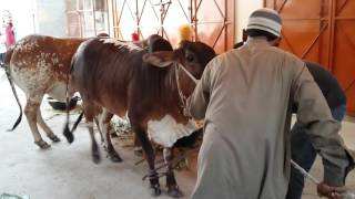 getlinkyoutube.com-Qurbani in 1st day for Eid 2015