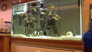 getlinkyoutube.com-African Cichlids Feeding Time!! Mysis Shrimp & Pelets