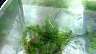 getlinkyoutube.com-90㎝水槽にスジエビとミナミヌマエビ300匹