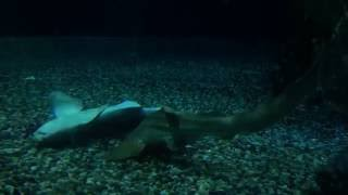 getlinkyoutube.com-豹紋鯊交配過程Zebra Shark mating process
